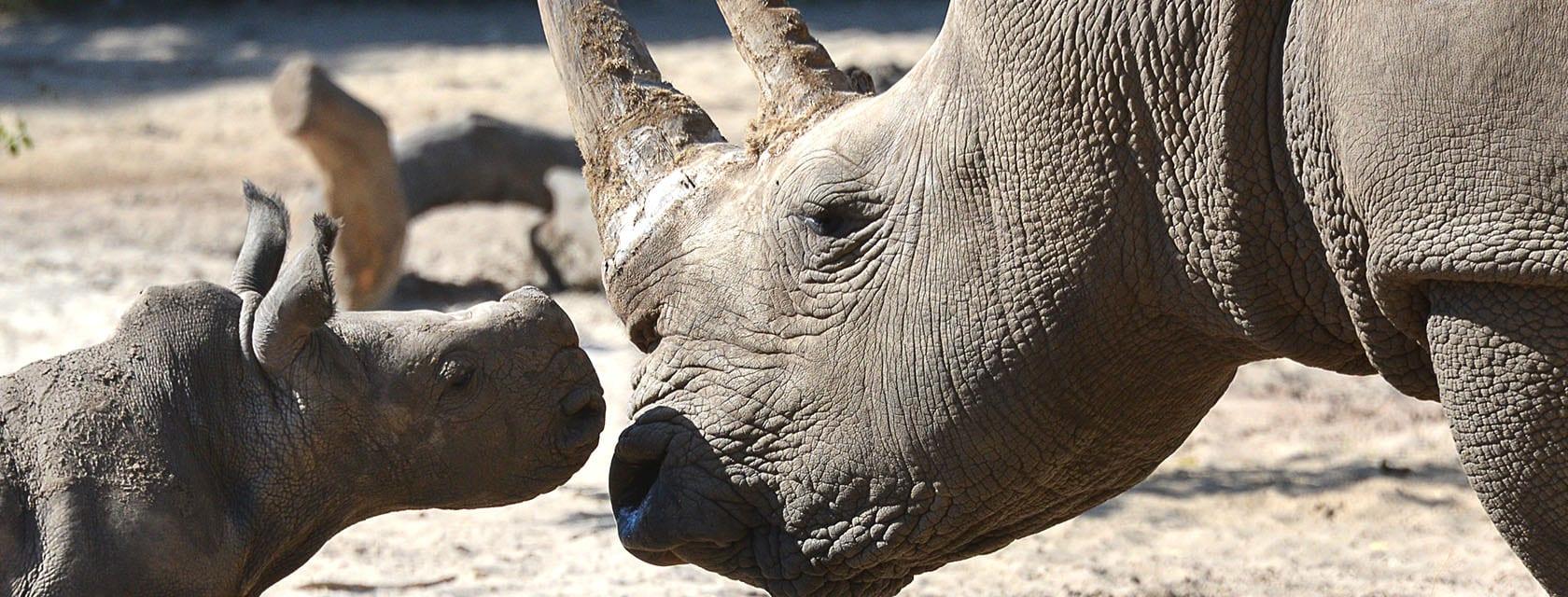 Donate to help endangered species like the white rhino