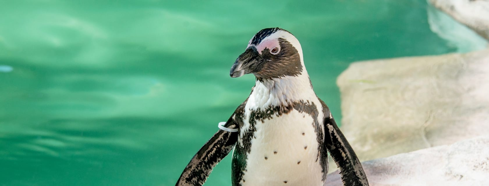 African Penguin | ZooTampa at Lowry Park