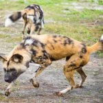 Painted dogs_04
