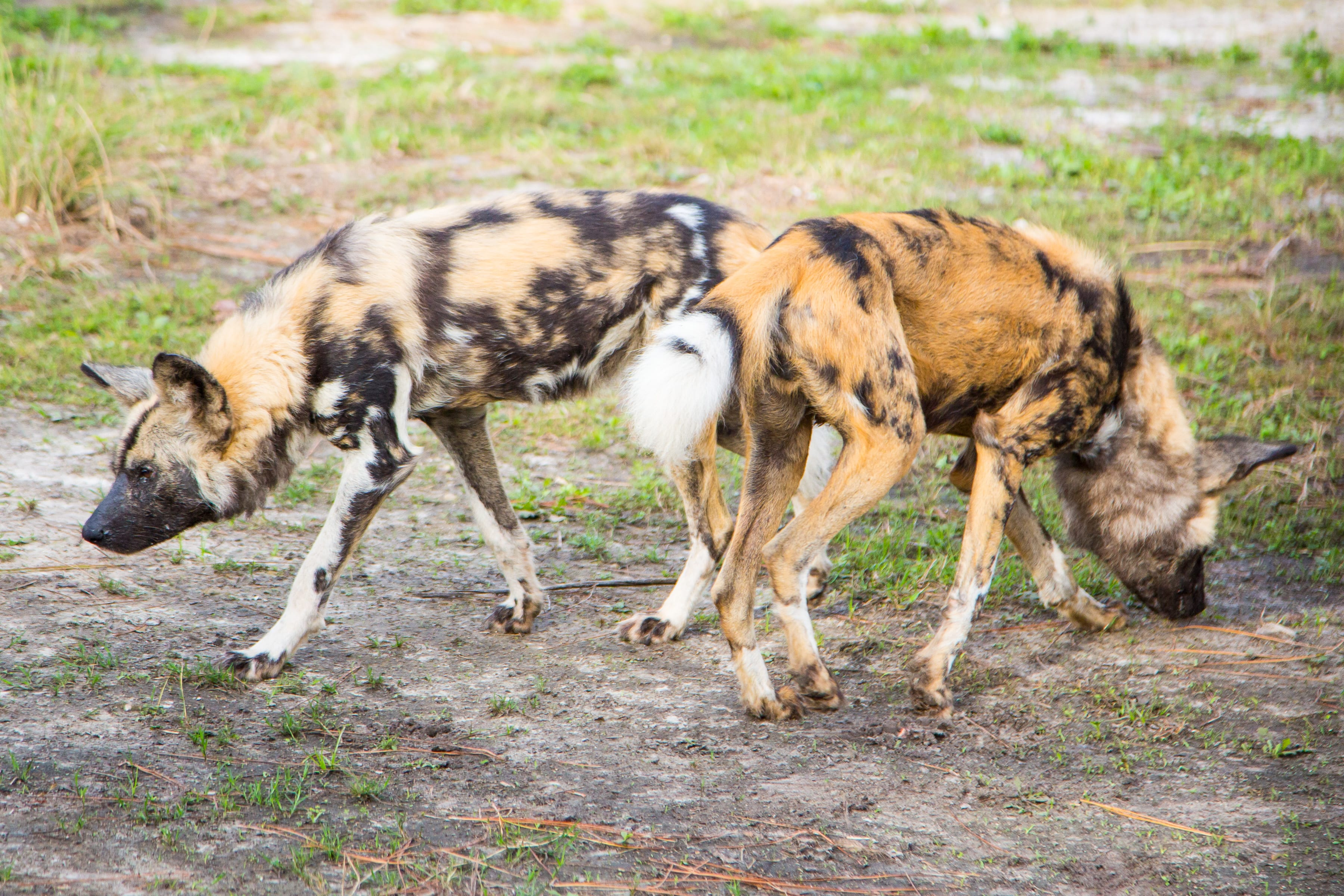 African Painted Dog Zootampa At Lowry Park