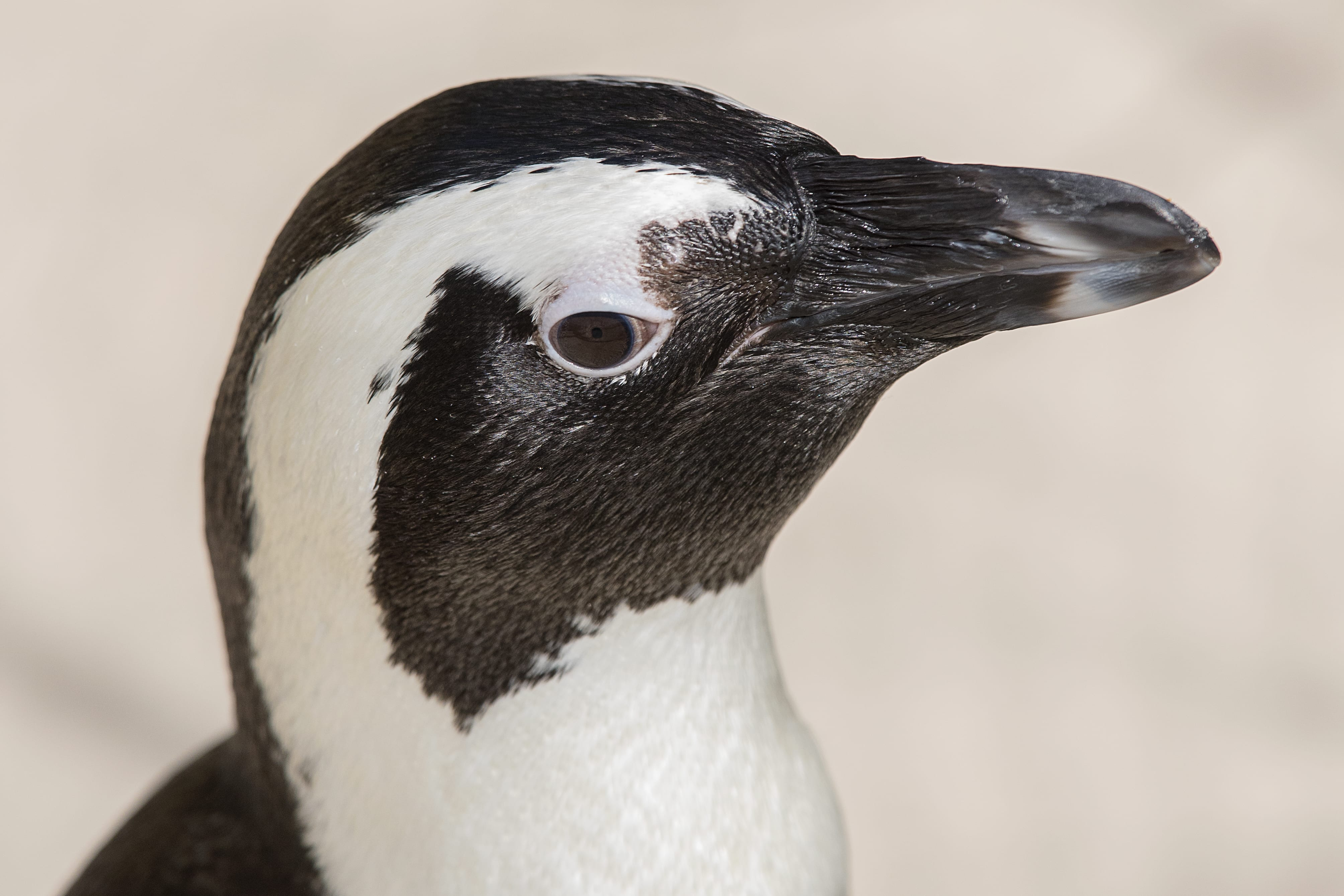African Penguin Zootampa At Lowry Park