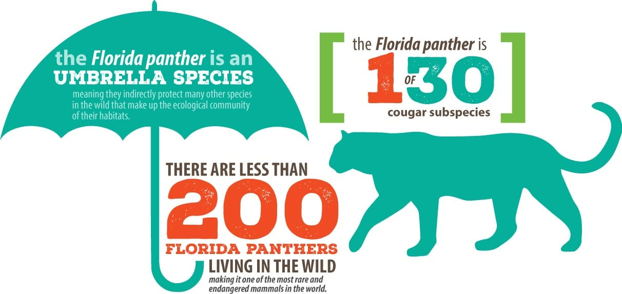 Infographic showing that there are only about 200 Florida panthers left in the wild