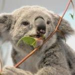 queensland-koala-(2)