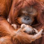 Bornean-orangutan-(2)