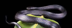 Saving a Species: Eastern Indigo Snakes