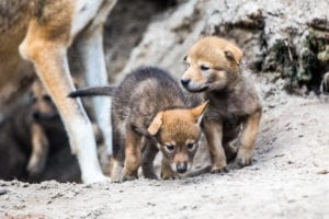 Four Extremely Rare Red Wolf Pups Born at ZooTampa at Lowry Park
