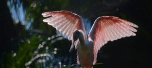 Pretty in Pink – Roseate Spoonbills