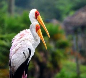 Birdy Spotlight – Storks