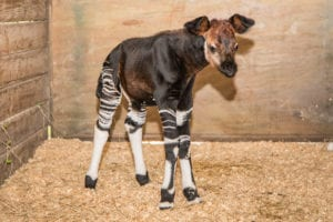 A Baby Okapi – One Step Closer to Survival