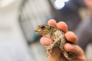 The Puerto Rican Crested Toad: Working together to save a tiny toad