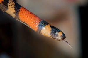 \Pueblan Milk Snake