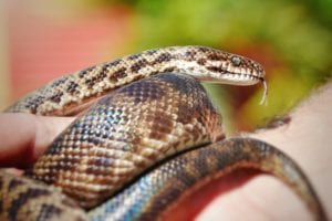 Medusa Monday – Spotted Python