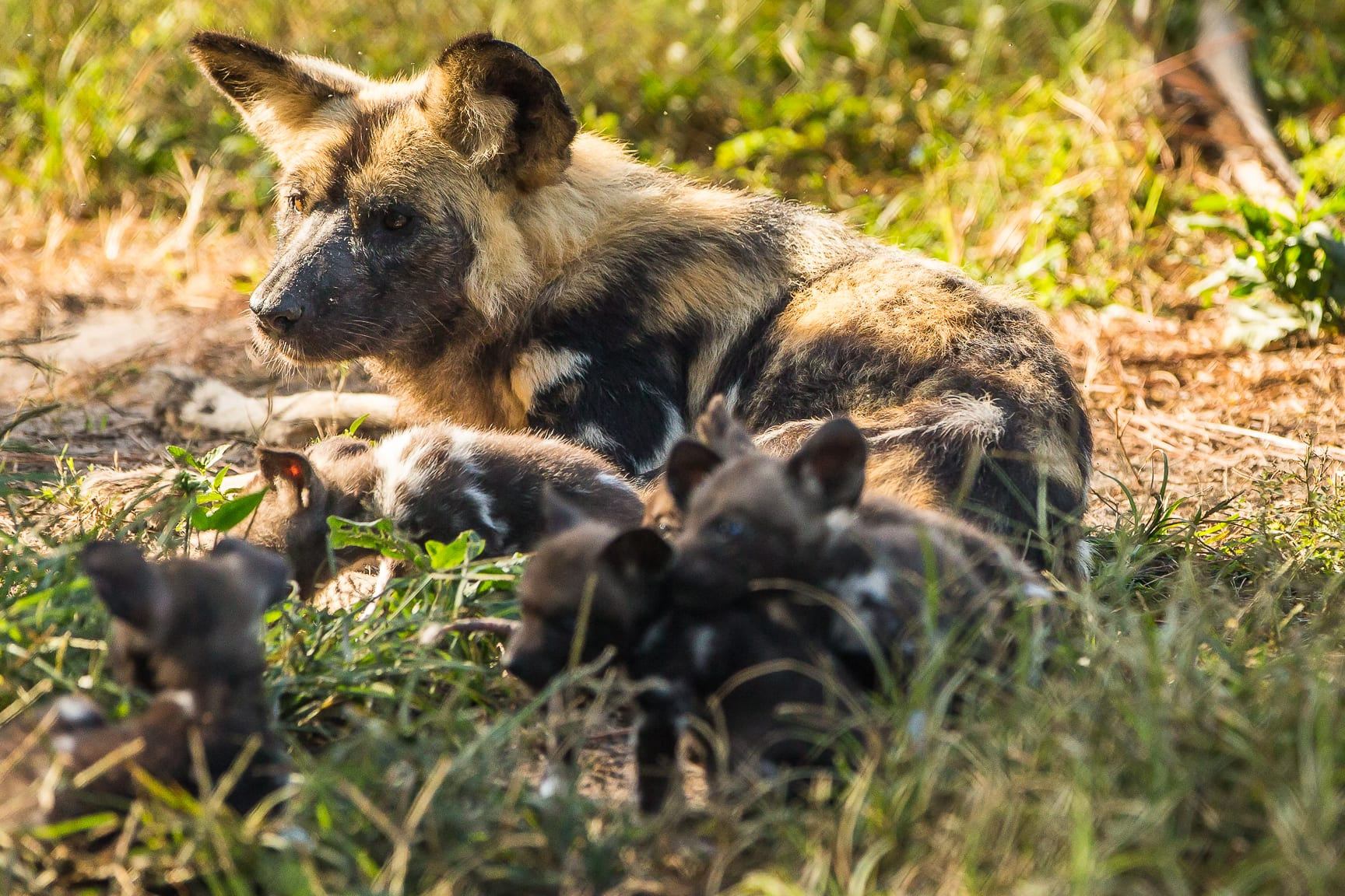 Building a Pack with Seven New Puppies - ZooTampa at Lowry Park