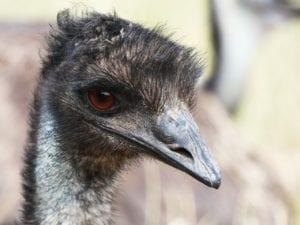 Birdy Spotlight: Emu