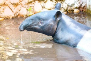 A Tapir Christmas Baby is on the Way!