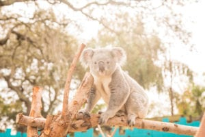 Koala-ty Facts