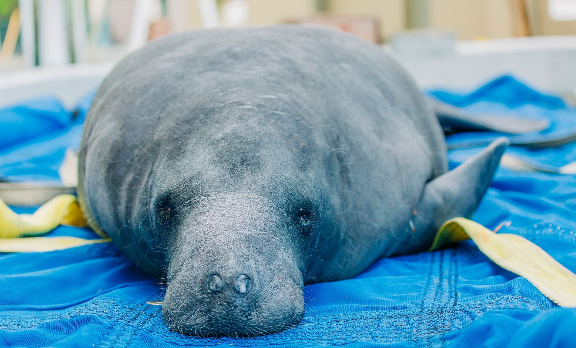 Zoo Opens Upgraded Center to Rescue and Rehabilitate Severely Injured Florida Manatees