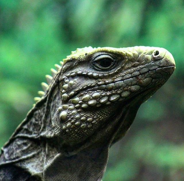 National Iguana Awareness Day