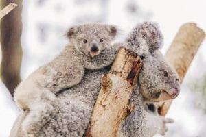 Save the Koala Day