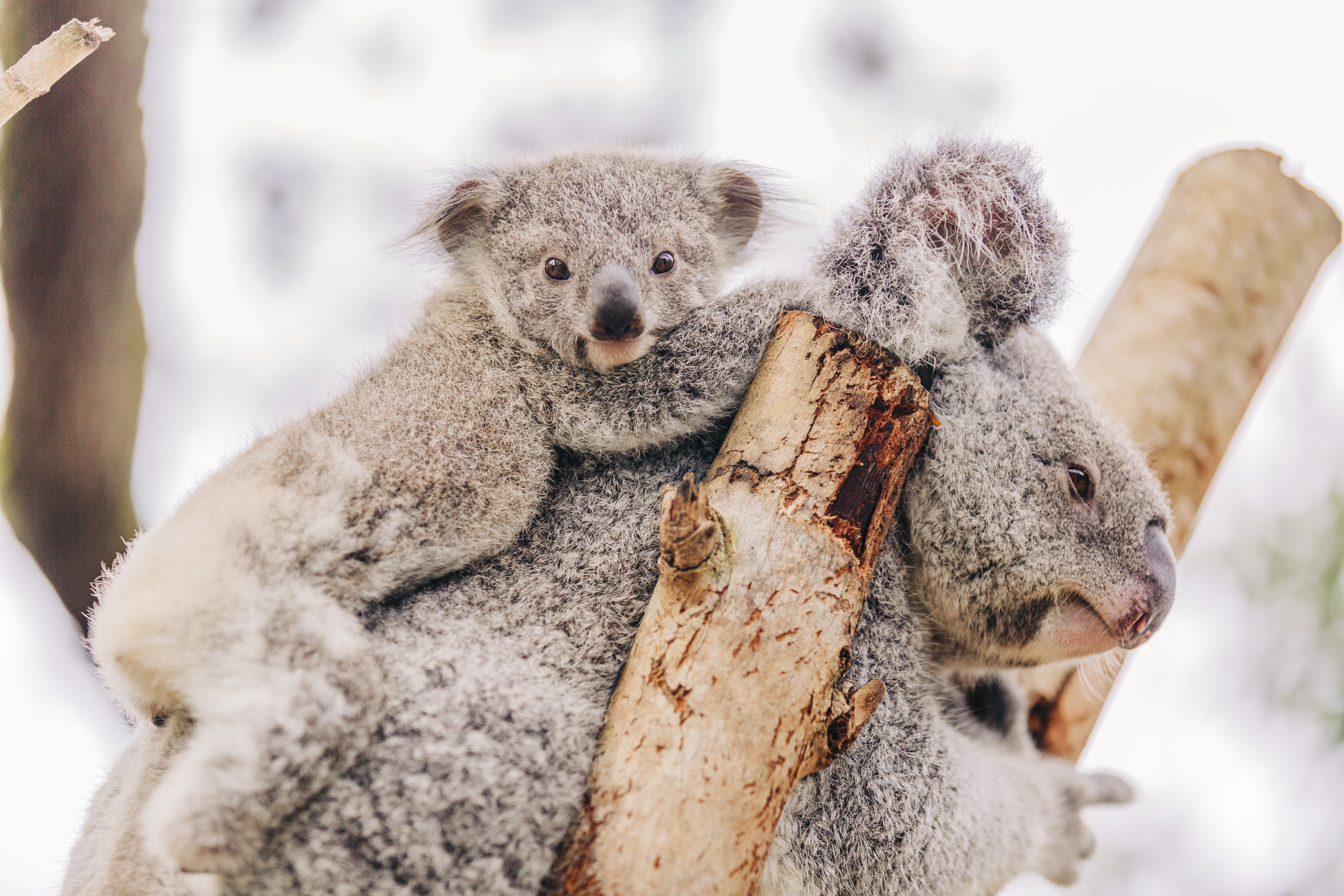 Save the Koala Day | ZooTampa at Lowry Park Maps Of Where Grey Koalas Live on