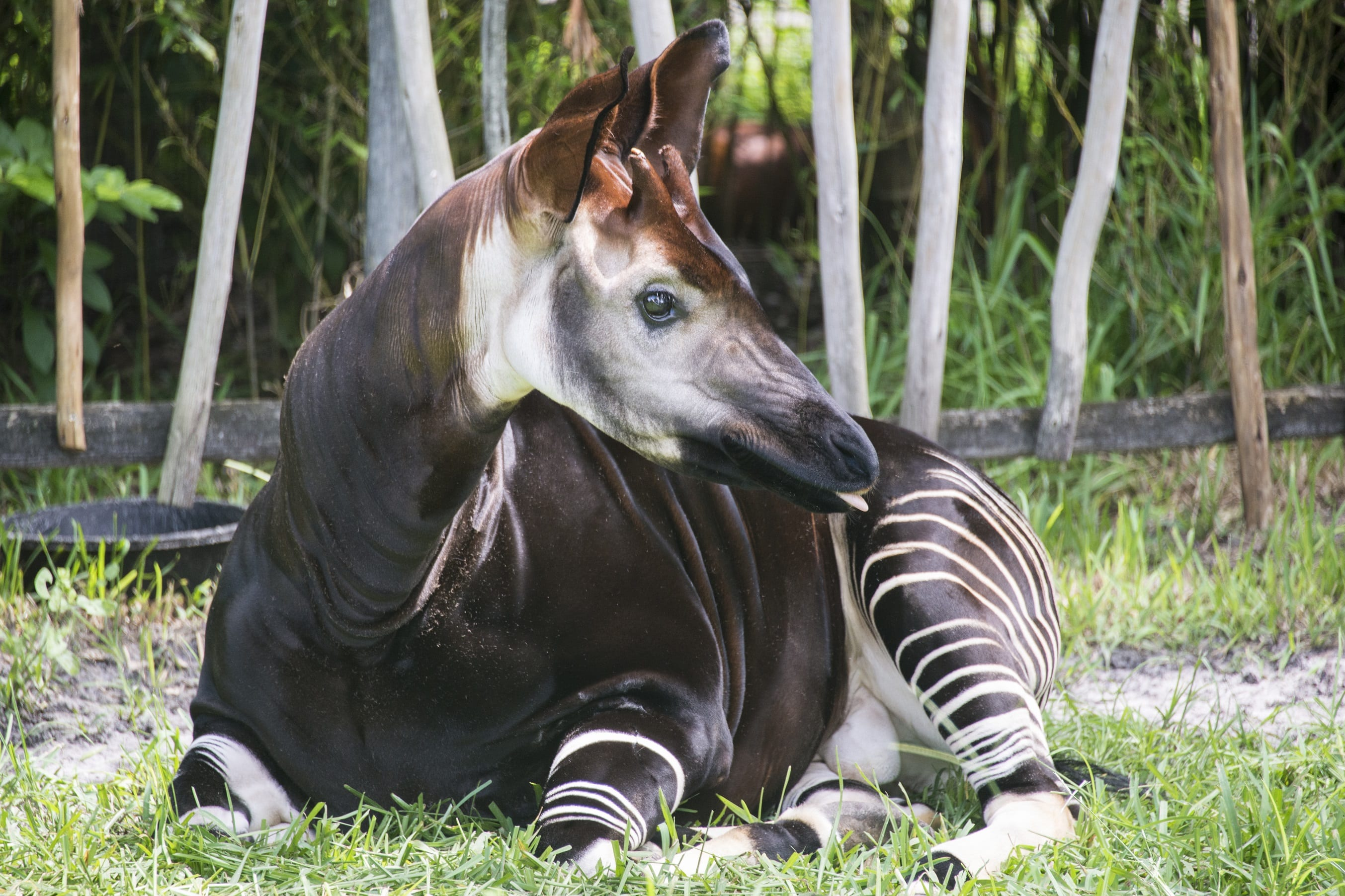 okapi resting at zootampa
