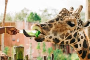 A person feeds a leaf of lettuce to a giraffe, who wraps his extra long tongue around it