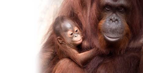 A photo of a baby orangutan and it's mother at ZooTampa