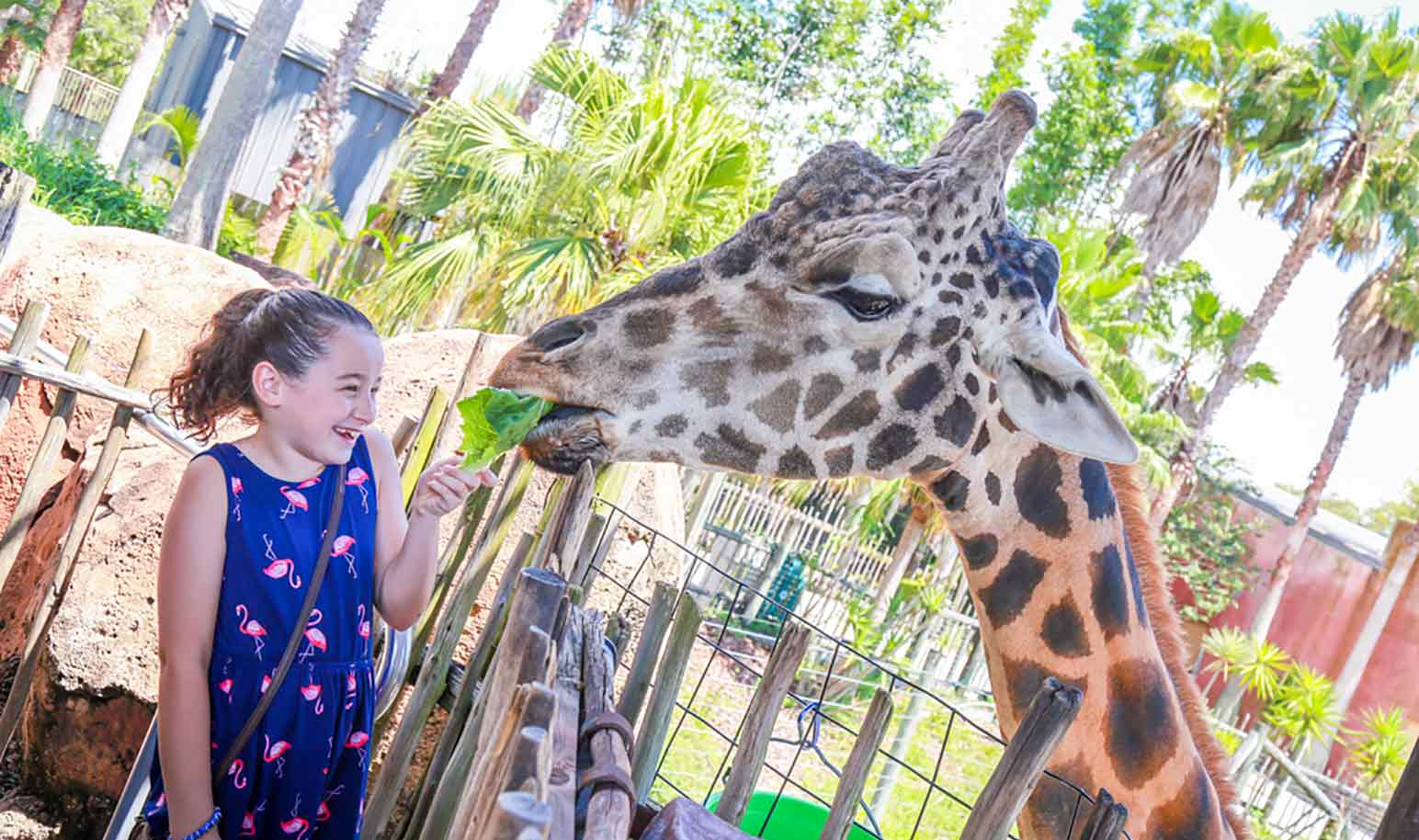 A girl feeds a leaf of lettuce to a giraffe at ZooTampa
