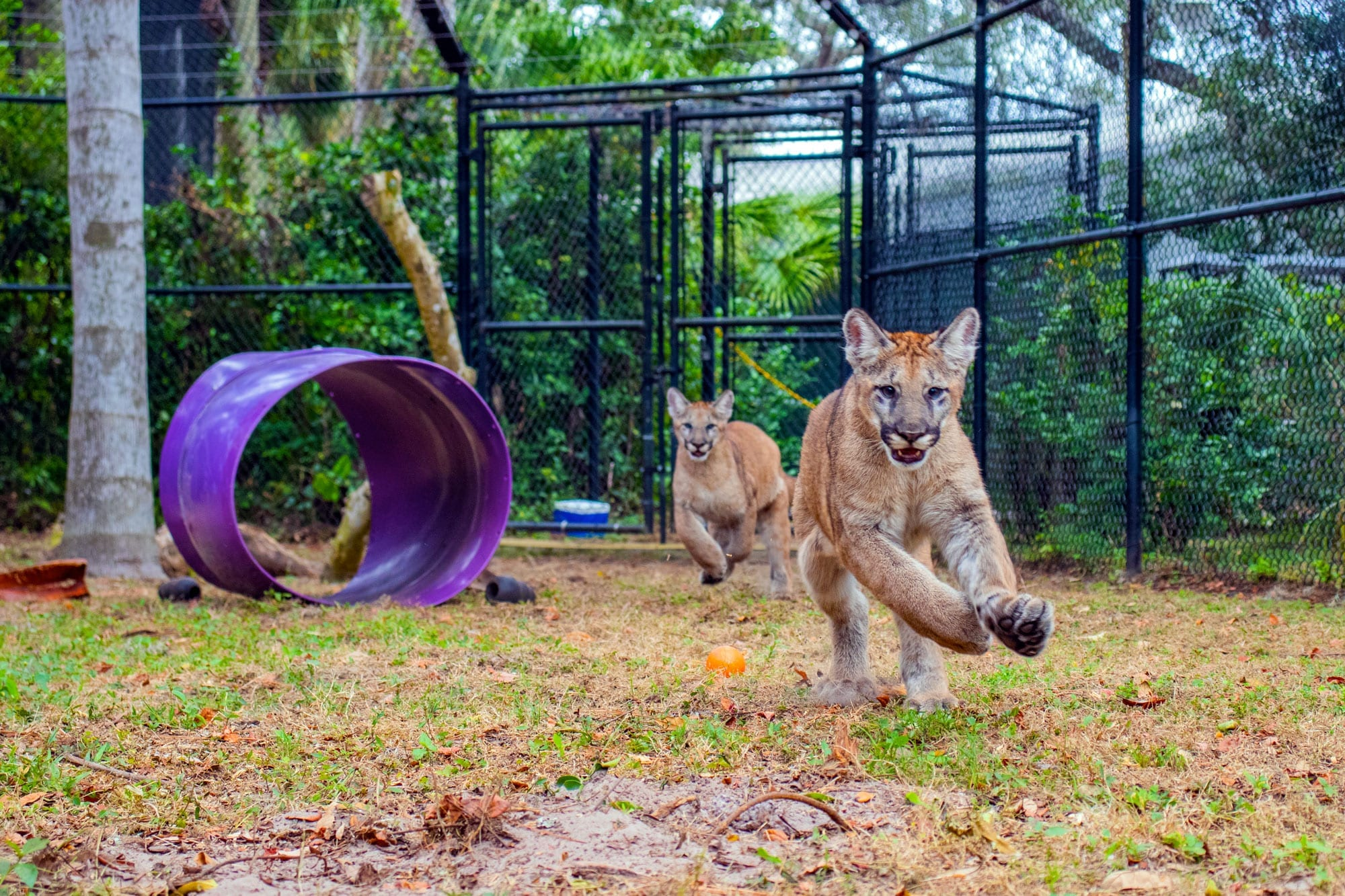 Two adorable Panther Kittens Playing after being rescued by FWC and brought to ZooTampa