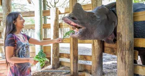 A young woman feeds lettuce to a rhino at ZooTampa