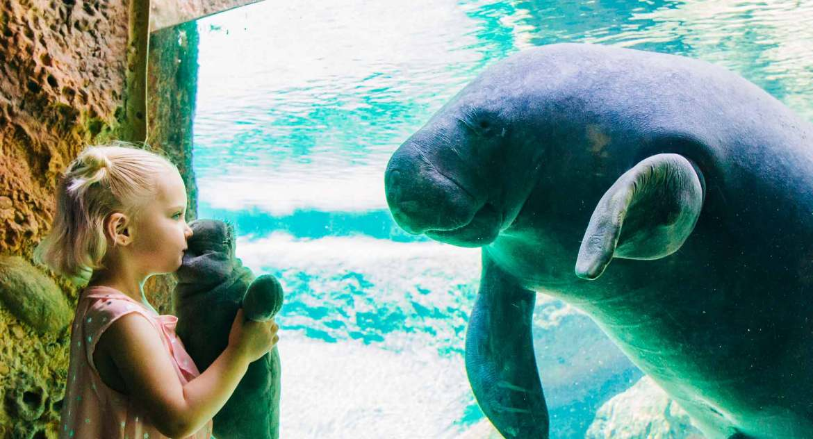 A young girl grasps a manatee plush while looking eye-to-eye with a real life manatee on the other side of the glass