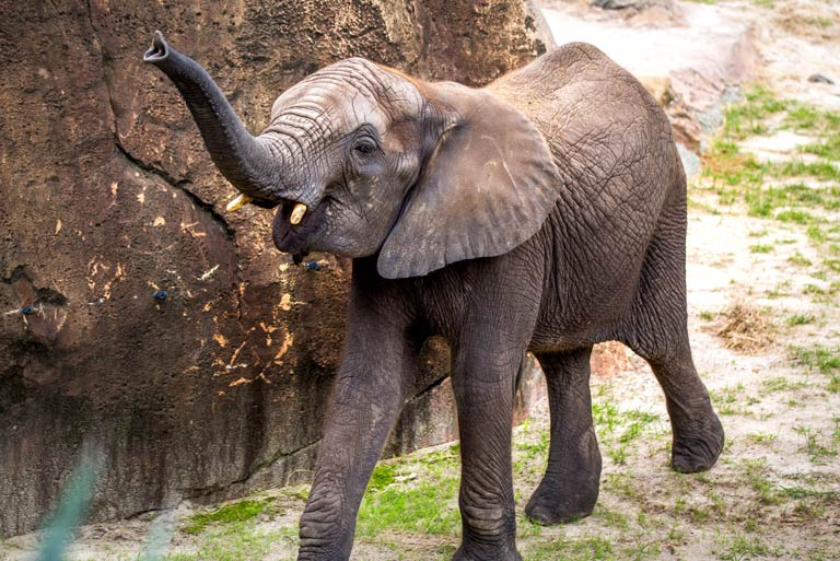 A young elephant at ZooTampa raises his trunk in a playful manner
