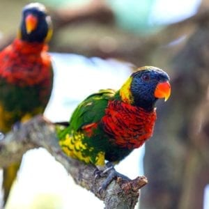 Colorful lorikeets mingle on a branch in their aviary at ZooTampa
