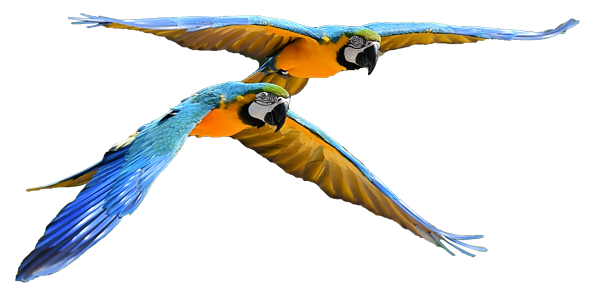 A pair of colorful macaw flying through the sky