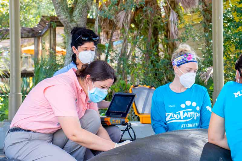 The manatee care team and vet staff monitor and examine a manatee patient at the manatee critical care center in Tampa