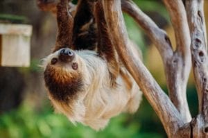 A cute sloth hangs upside down from a branch