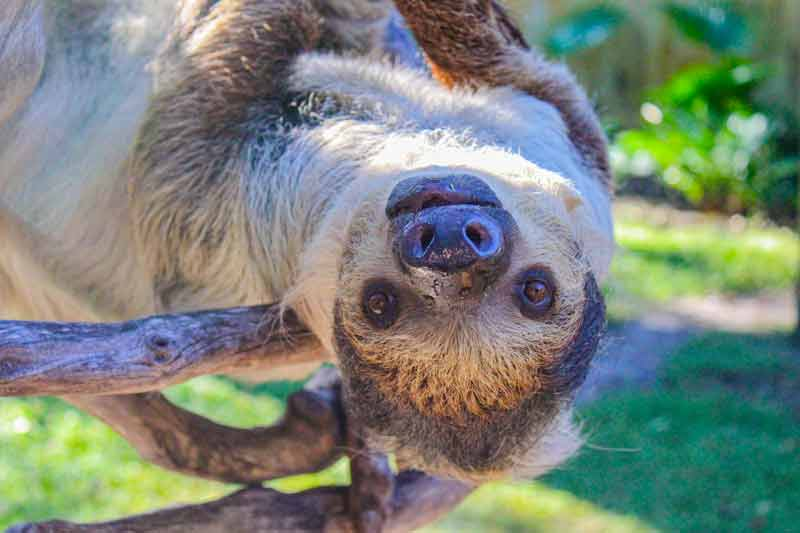 A sloth smiles as he hangs upside-down from a tree
