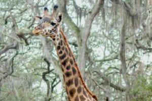 An African giraffe stands near trees