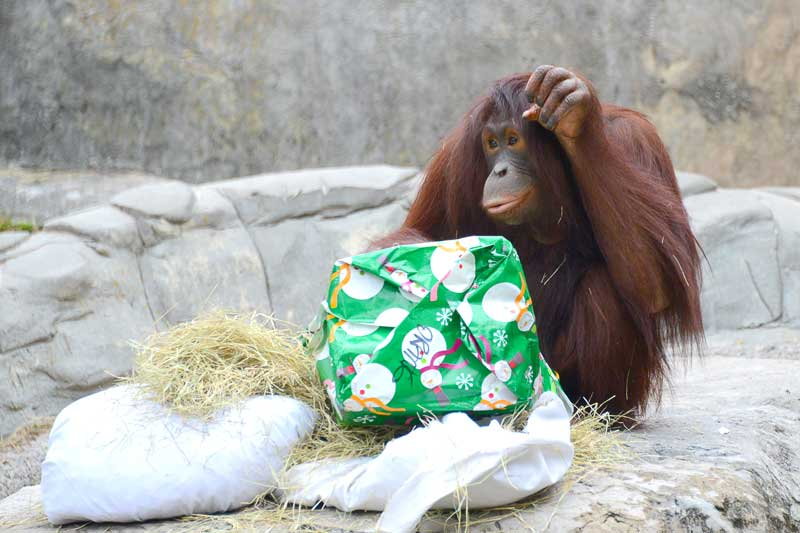 Orangutan shows thanks after opening new gift from zookeepers